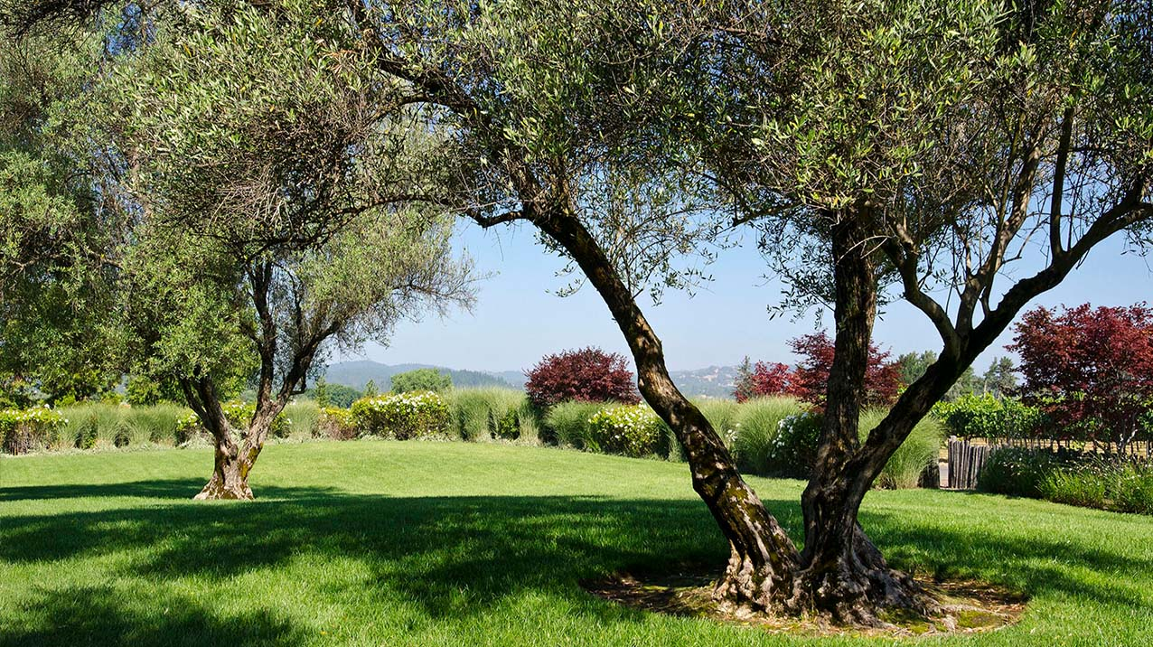 Two large oak trees in the middle of the lush green lawn at Rodney Strong Vineyards' Tasting Room with red cherry trees and plants in the background on a sunny summer day