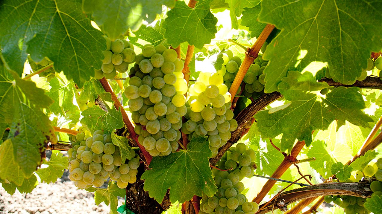 Sunlight shining on clusters of white wine grapes on a vine surrounded by bright green leaves